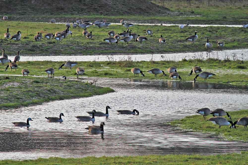 Auf den überschwemmten Wiesen an den Wasserflächen finden die Gänse frisches Grün zum Fressen..am 30.12.12 Foto: Gregor Zosel