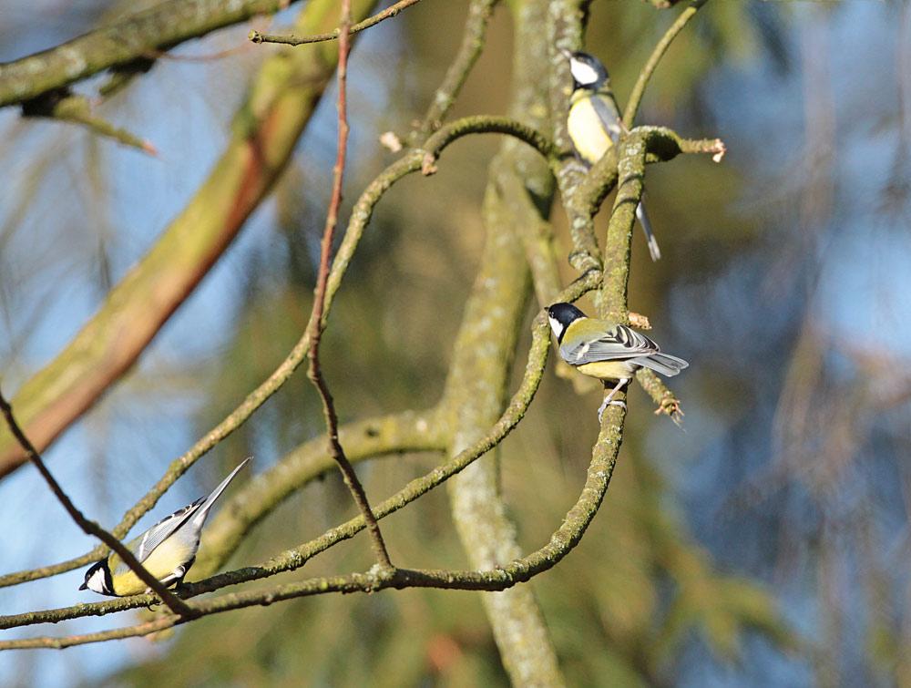 Überall im Wald sehr aktiv: balzende Meisen wie diese imponierenden Kohlmeisenmännchen, 28.01.2012 Foto: Bernhard Glüer