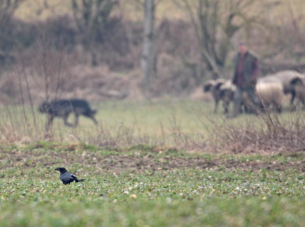 Die sonst sehr scheuen Kolkraben stufen den Schäfer im Hintergrund mit seinen Hunden als ungefährlich ein, 10.03.2012 Foto: Bernhard Glüer