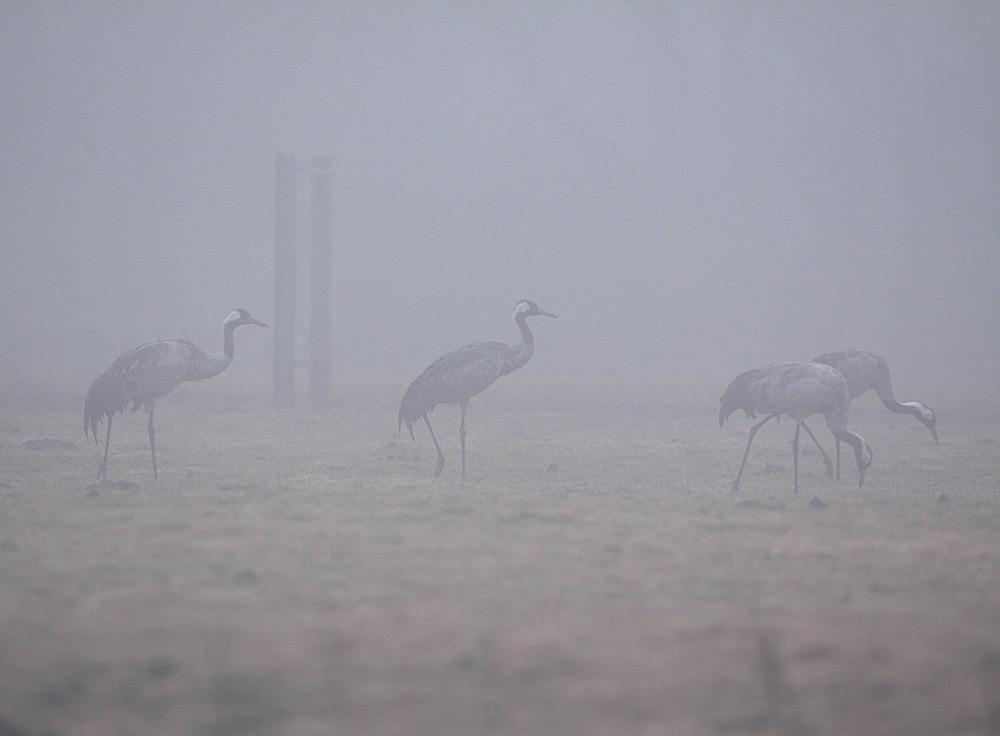 Trotz der grauen Nebelwand - unverkennbar mit dem frisch einbetonierten Stahlanker für eine Storchenplattform - wurde das NSG Kiebitzwiese..., 29.02.2012 Foto: Bernhard Glüer