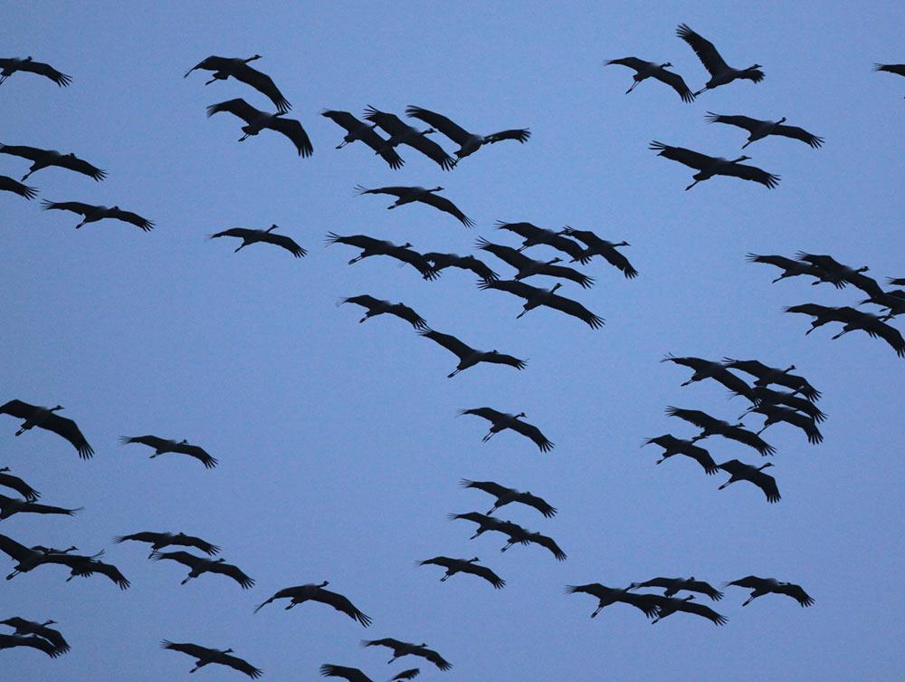 ... sie entscheiden sich schließlich fürs Weiterfliegen, 03.03.2012 Foto: Bernhard Glüer