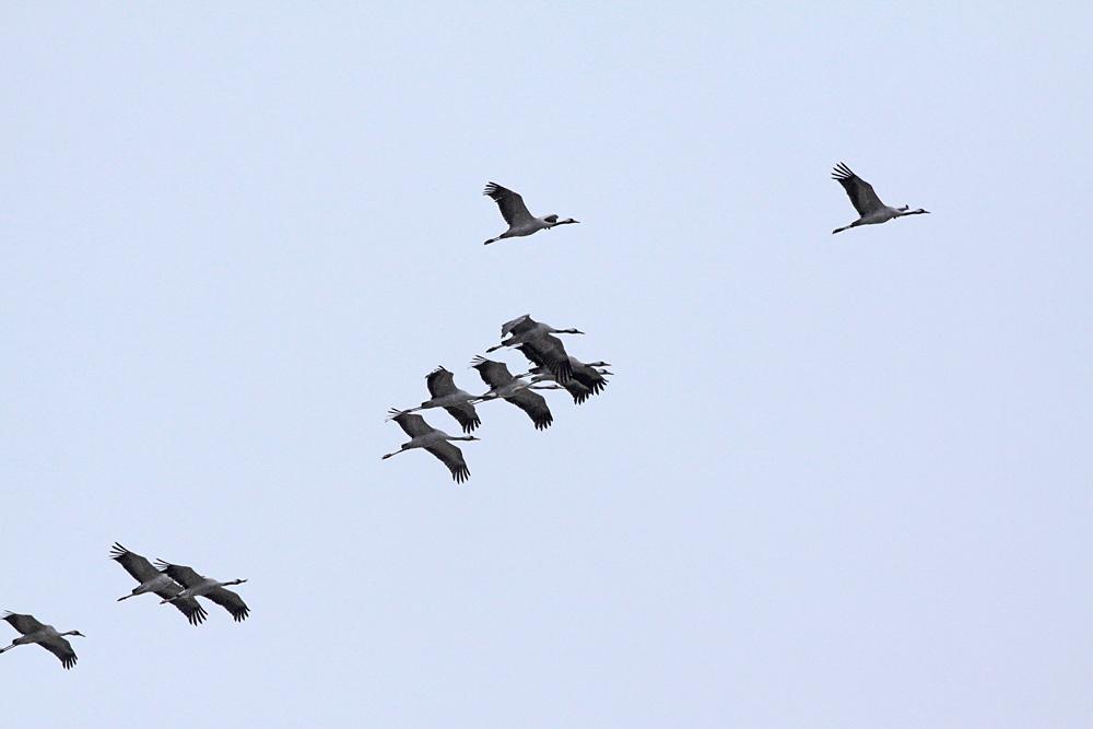 Kraniche über der Horster Mühle (Bönen) - der dritte Vogel von links scheint eine Schnabelverletzung zu haben, 13.03.2012 Foto: Bernhard Glüer
