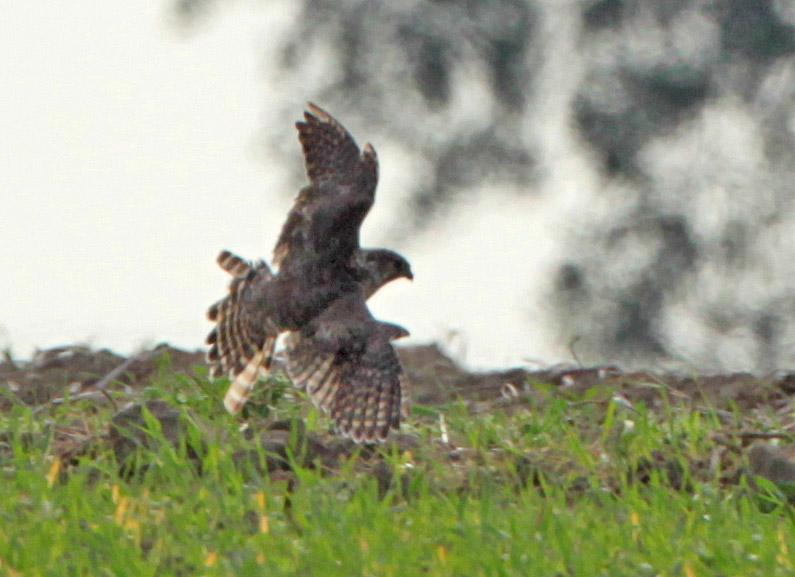 Nach dem erkennbaren Mauserzustand könnte es sich um ein Weibchen im dritten Kalenderjahr handeln, 10.09.2012 Foto: Bernhard Glüer