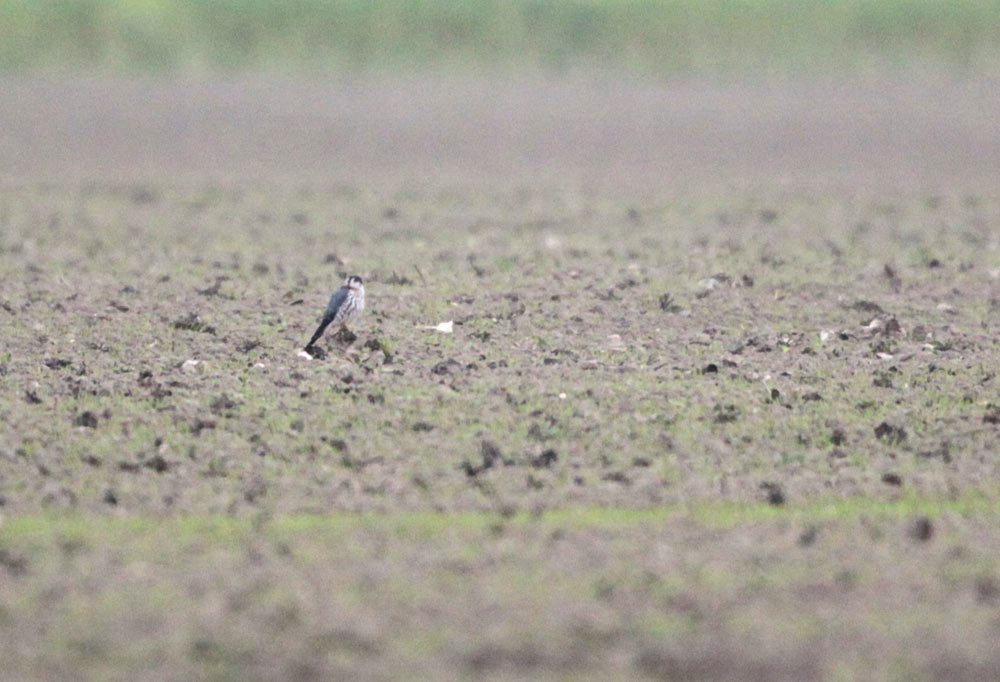 Trotz der großen Entfernung ist das typische, fast bläuliche Rückengefieder, das adulte Merlinmännchen kennzeichnet, zu erkennen, 23.11.2012 Foto: Bernhard Glüer
