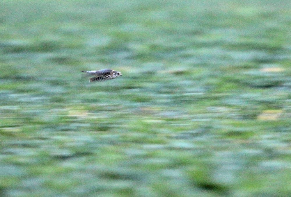 Wegen des noch schwachen Morgenlichts gelingen nur ein paar unscharfe Fotos, die aber gerade den geschossartigen Jagdflug des Merlins annähernd wiedergeben, 23.11.2012 Foto: Bernhard Glüer