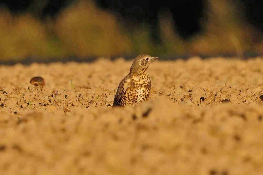 Misteldrossel auf einem Feld am Neuenkamp..am 09.09.12 Foto: Marvin Lebeus