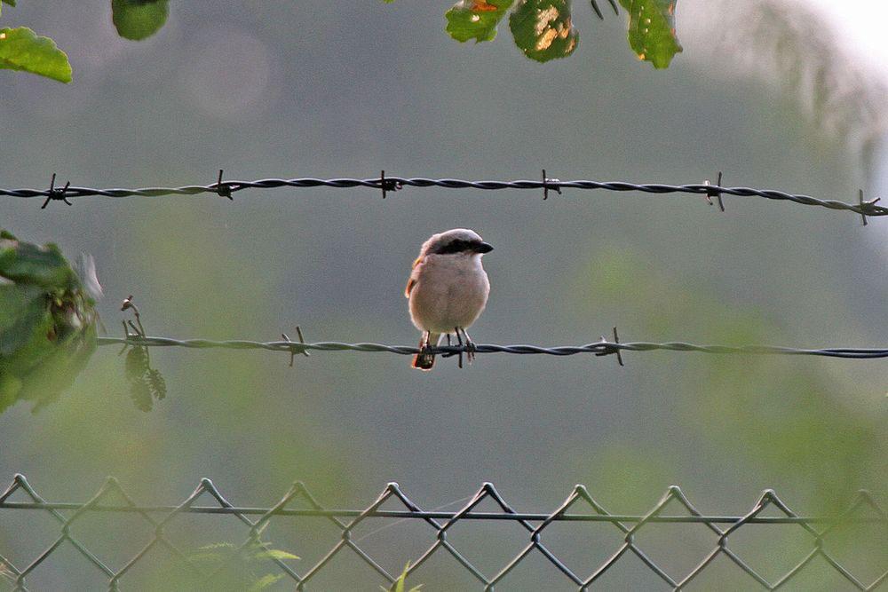 ....wählt das Männchen den Zaun am angrenzenden Hammer Wasserwerk als Ansitz.....am 29.07.12 Foto: Gregor Zosel
