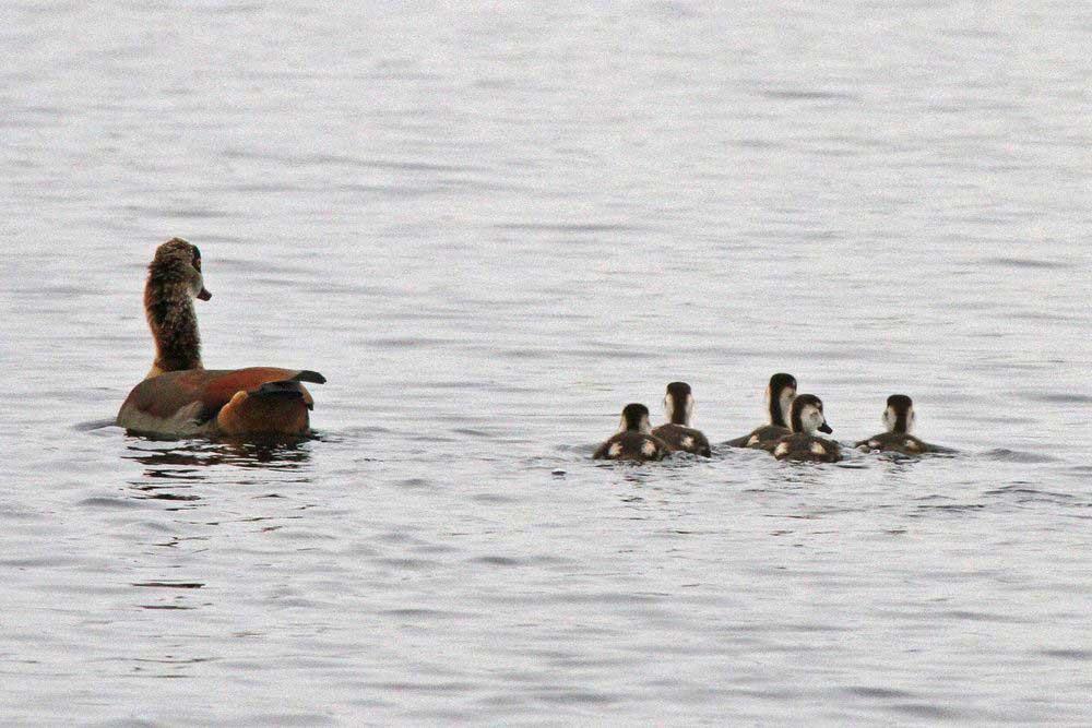 Unsere Nilgansfamilie des Hammer Wasserwerkes...am 17.03.12 Foto: Gregor Zosel