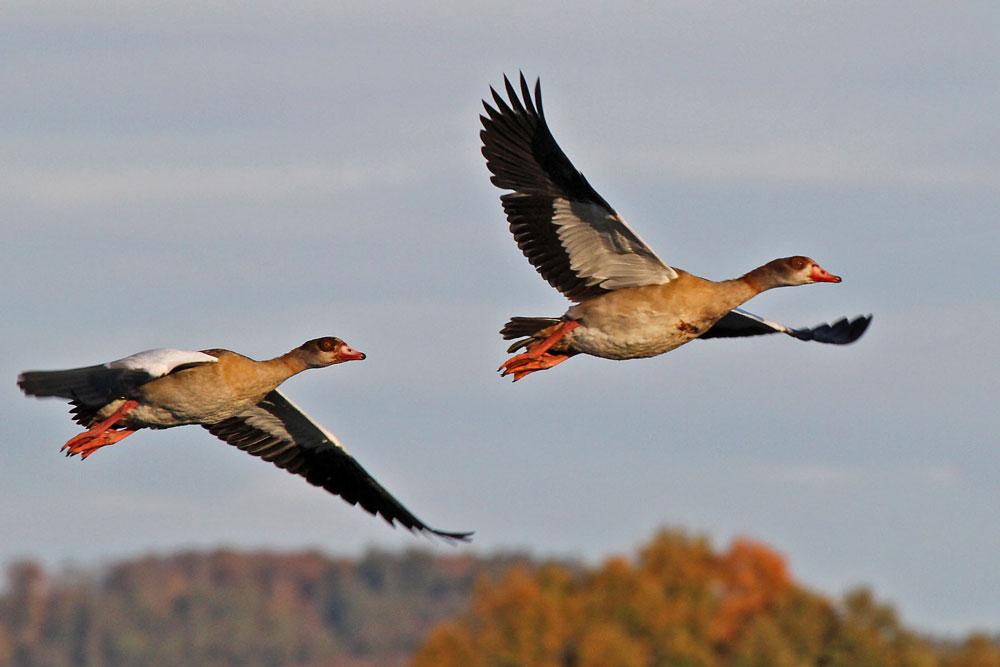 Auch die Nilgänse wechseln häufig zwischen Feldern und Vernässungsfläche..am 28.10.12 Foto: Gregor Zosel