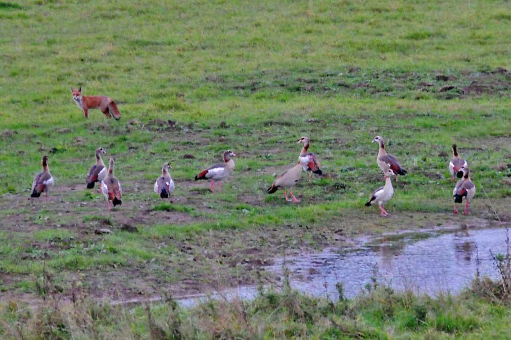 So ein Trupp Nilgänse ist doch respekteinflößend. Da zieht man sich auch als Fuchs lieber zurück...am 14.10.12 Foto: Marvin Lebeus