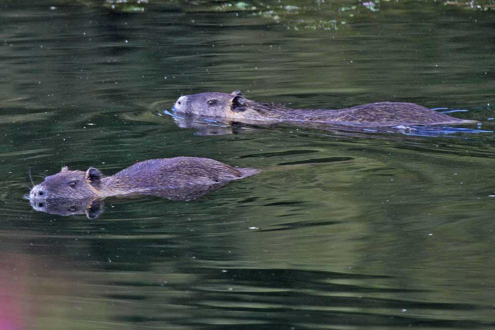 Gleich zwei dieser imposanten Säuger schwammen heute im Uferbereich der Ruhr...am 19.09.12 Foto: Gregor Zosel