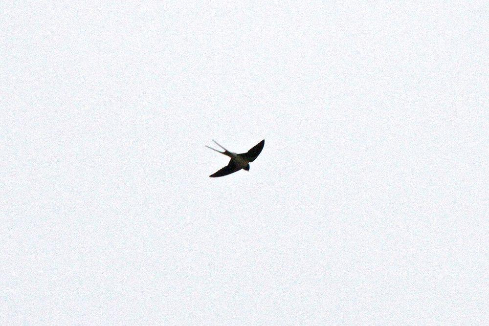 Erste Rauchschwalbe diesen Jahres über der Kiebitzwiese ...am 17.03.12 Foto: Gregor Zosel