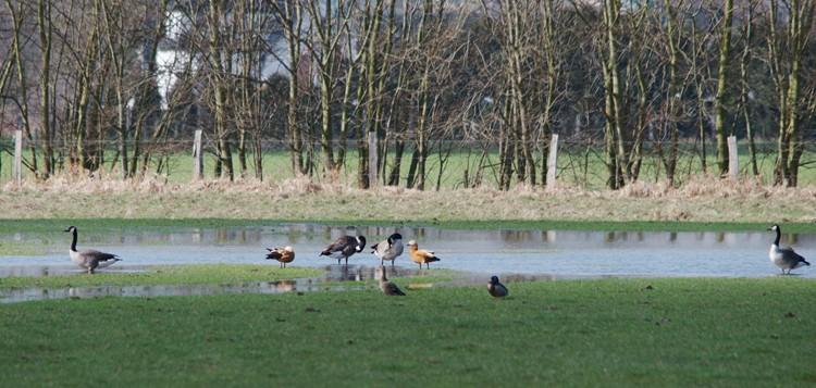 Rostgänse im NSG Kiebitzwiese bei Fröndenberg am 19.03.2012 Foto: Karl Heinz Beck