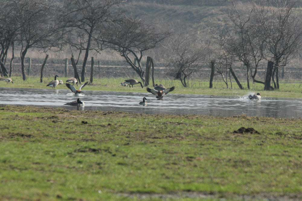 Rostgänse im NSG Lippeaue Werne bis Heil am 15.03.12 Foto: Tom Peter