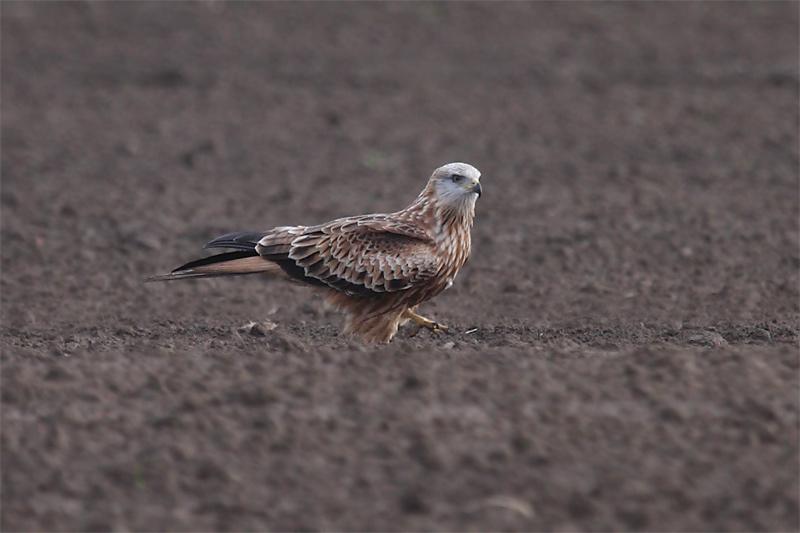 Rotmilan bei der Regenwurmjagd; zu Fuß geht's auch. Foto: Hermann Knüwer