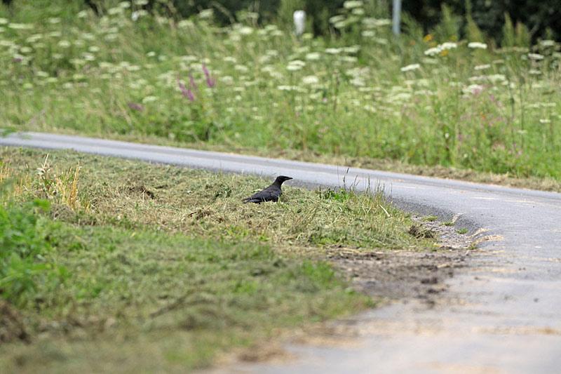 Für die Rabenkrähe hinterlässt der Mulchmäher einen reich `gedeckten Tisch´ mit `püriertem´ Kleingetier, 31.07.2012 Foto: Bernhard Glüer