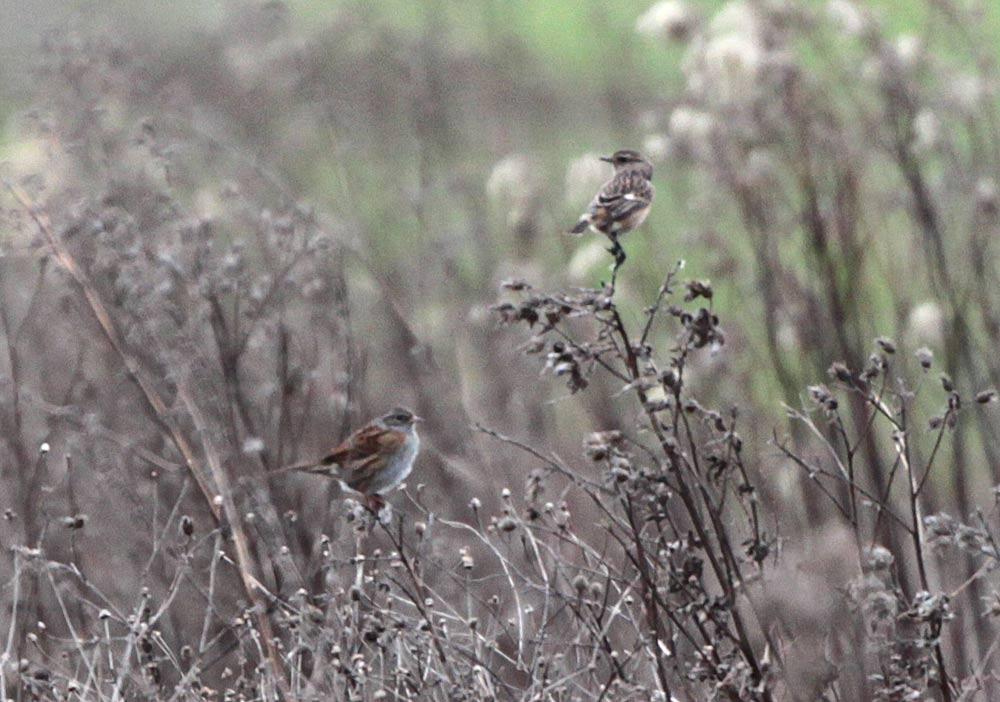 Schwarzkehlchen in Ruderalflora/Bönen - mit untypisch `ansitzender´ Heckenbraunelle, 31.12.2012 Foto: Bernhard Glüer
