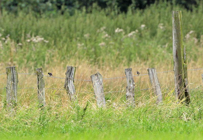 Schwarzkehlchenpaar auf seinem `Lieblingszaun´ (Hemmerder Wiesen), 31.07.2012 Foto: Bernhard Glüer