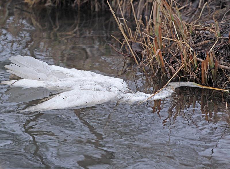 Ein Artgenosse - vermutlich als spätes Winteropfer - hatte weniger Glück, 26.02.2012 Foto: Bernhard Glüer