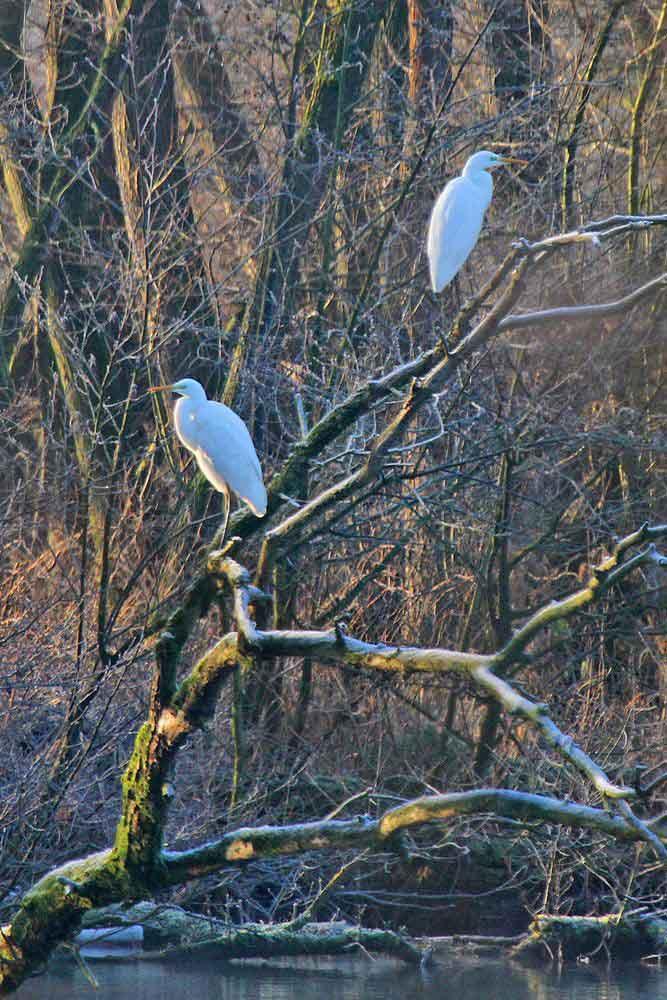 Silberreiher an der Ruhr am 28.01.12 Foto: Gregor Zosel