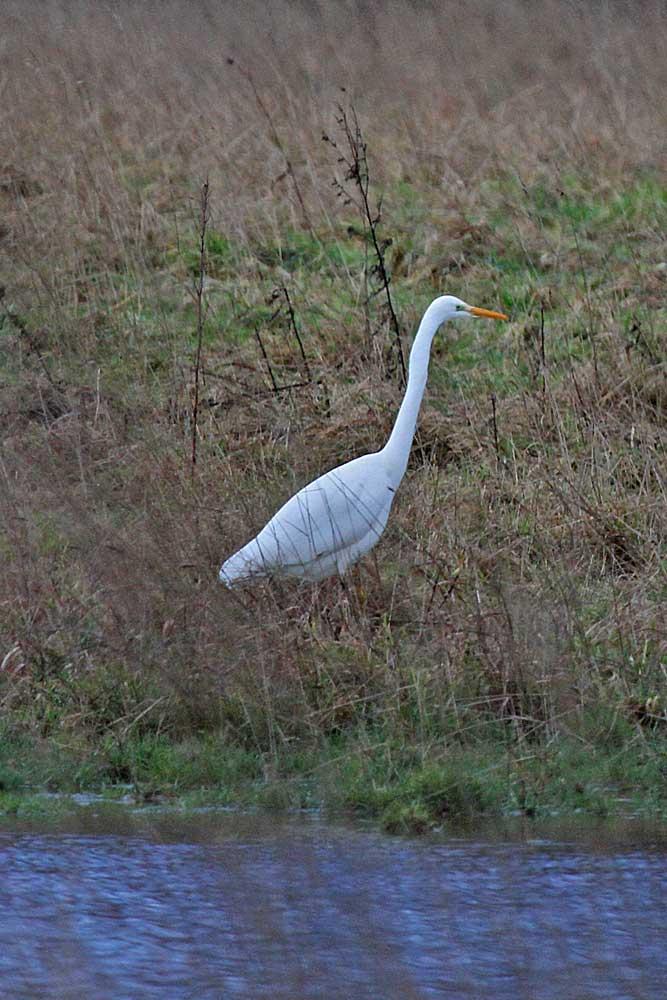 Langsam schreitet ein Silberreiher durchs hohe Gras...am 30.12.12 Foto: Gregor Zosel