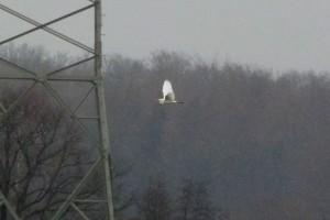 Meine Erstbeobachtung eines Silberreihers in Siedlungsnähe am 21.01.2012 Foto: K.Nowack