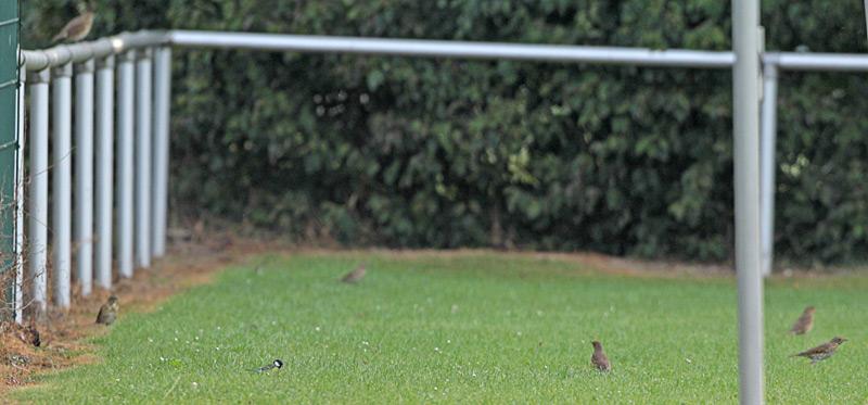 Gleich 6 Singdrosseln auf dem Bausenhagener Sportplatz - leider längst nicht mehr so häufig, 21.09.2012 Foto: Bernhard Glüer