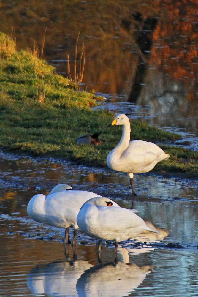 In der untergehenden Sonne leuchtet der Singschwan besonders schön....am 20.11.12 Foto: Gregor Zosel