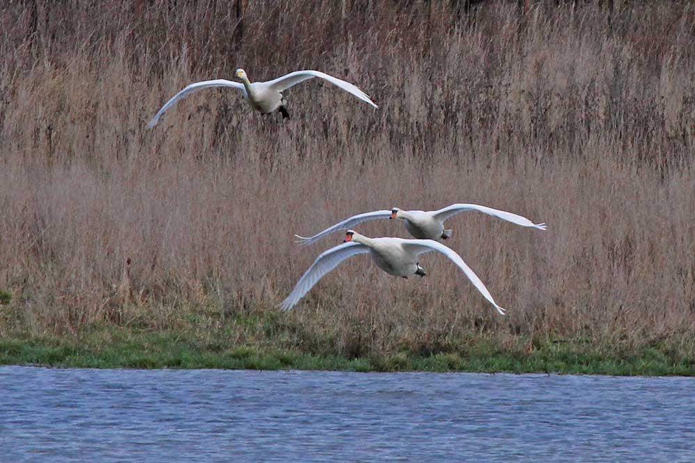 Später wechselte er zusammen mit 2 Höckerschwänen die Wasserflächen...am 30.12.12 Foto: Gregor Zosel