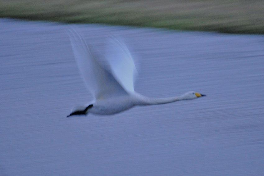 In letzter Sekunde erwischt, der Singschwan auf der Kiebitzwiese auf dem Weg zum Ententeich, 25.12.2012, Foto: Marvin Lebeus