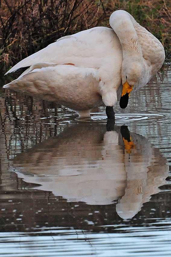 So allein, schaut sich der Singschwan auf der Kiebitzwiese, sein eignes Spiegelbild an, 28.12.2012 Foto: Marvin Lebeus