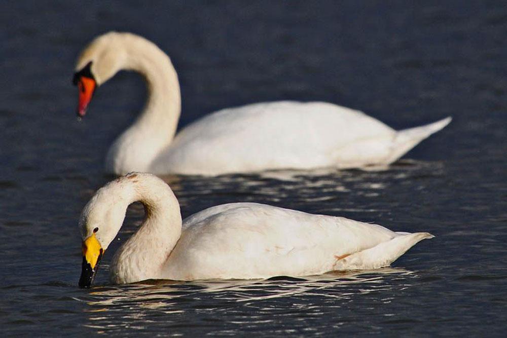 Immer wieder ein schöner Anblick ist der Singschwan auf der Kiebitzwiese...am 31.12.12 Foto: Marvin Lebeus
