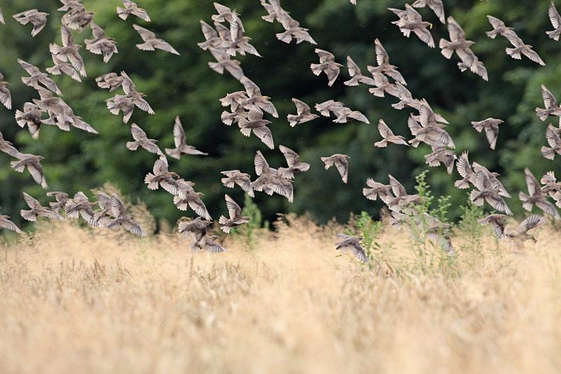 ...immer wieder wird der ganze Schwarm vom Getreide `verschluckt´..., 31.07.2012 Foto: Bernhard Glüer