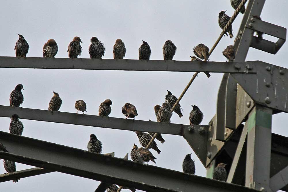 ....versammelt sich ein Großteil der Stare auf den Hochspannungsleitungen am Aussichtshügel...am 02.09.12 Foto: Gregor Zosel