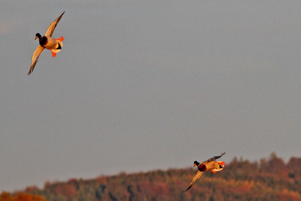 Einfallende Stockenten in der Abendsonne ...am 27.10.12 Foto: Gregor Zosel