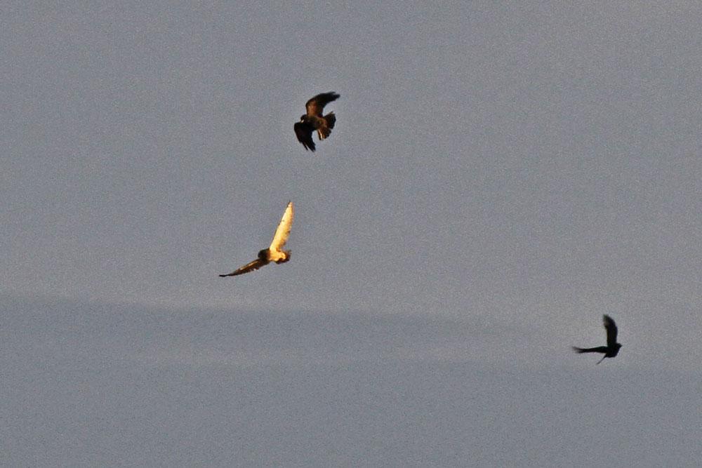 Sumpfohreule im Luftkampf mit Rabenkrähen bei Dreihausen...am 10.10.12 Foto: Gregor Zosel