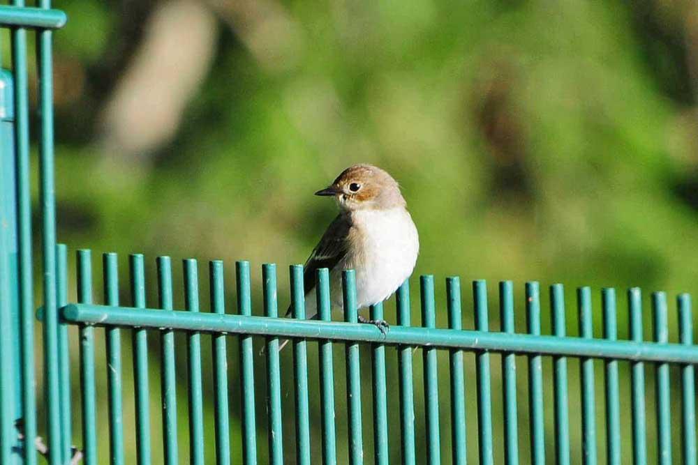 Wieder auf dem Zaun am Wasserhochbehälter am Hemmerder Schelk angetroffen: der Trauerschnäpper...am 01.09.12 Foto: Marvin Lebeus
