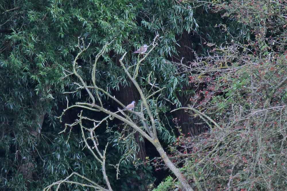Vom Aussichtshügel der Kiebitzwiese aus sind die beiden Turteltauben fast am Ruhrufer schwer auf einem Foto festzuhalten...am 25.08.12 Foto: Martin Wenner