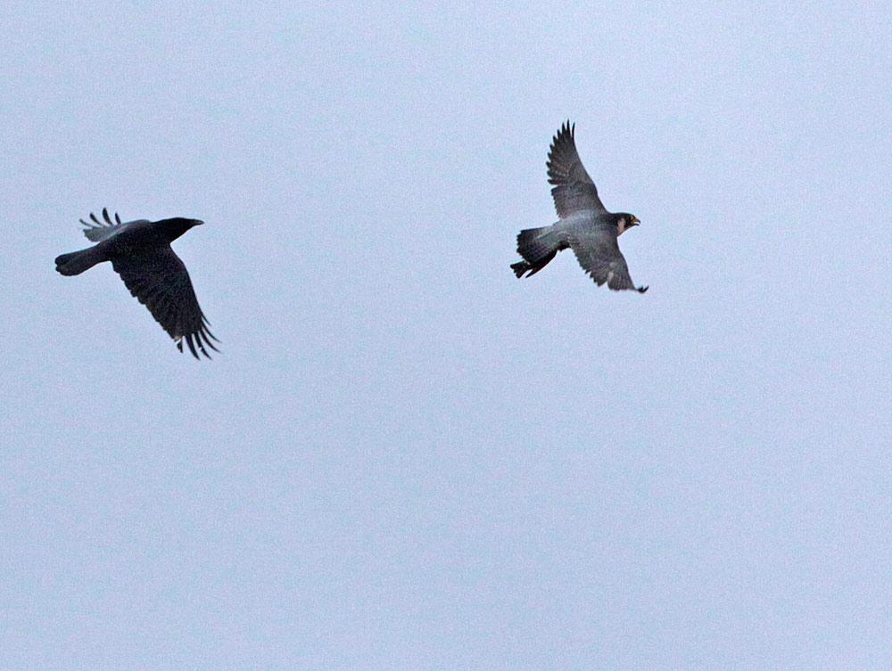 ...mit sichtlicher Mühe hängt der schwer beladene Falke seinen Futterneider schließlich ab..., 07.01.2012 Foto: Bernhard Glüer