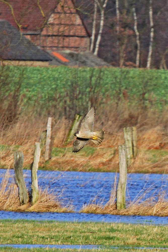 Der elegante Jäger über den Wasserflächen...am 31.12.12 Foto: Gregor Zosel