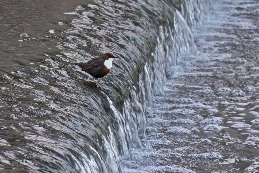 Wasseramsel am Überlauf des Wehres...am 28.10.12 Foto: Gregor Zosel