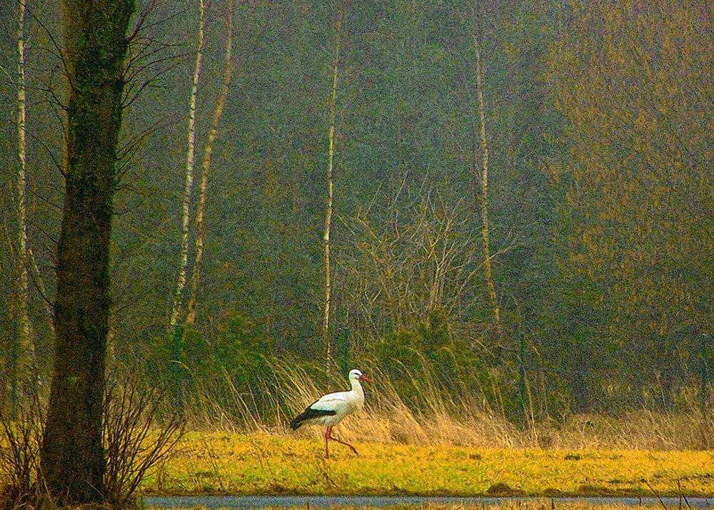 Weißstorch auf der Hohenheide am 01.03.12 Foto: Heinrich Braemer