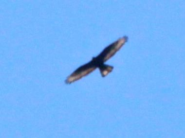 ...ein rechtsseitig durchfallender Lichtschein im Schwanz deutet auf eine asymmetrische Schwanzhaltung - möglicherweise als Folge einer Verletzung hin..., 23.07.2012 Foto: Bernhard Glüer