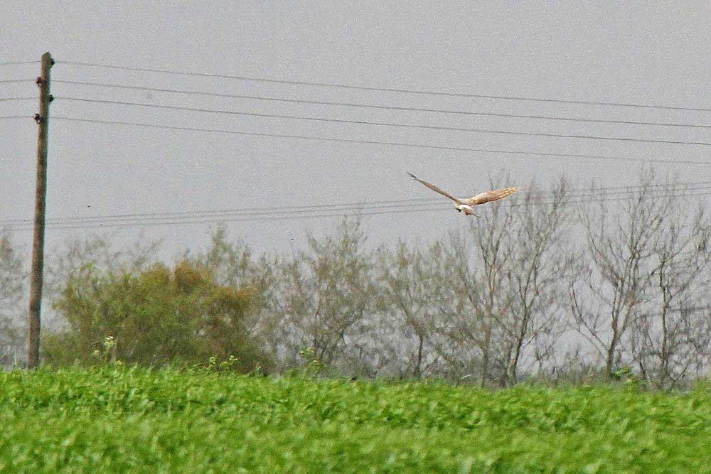 Wiesenweihe nördlich von Westhemmerde...am 27.04.12 Foto: Gregor Zosel