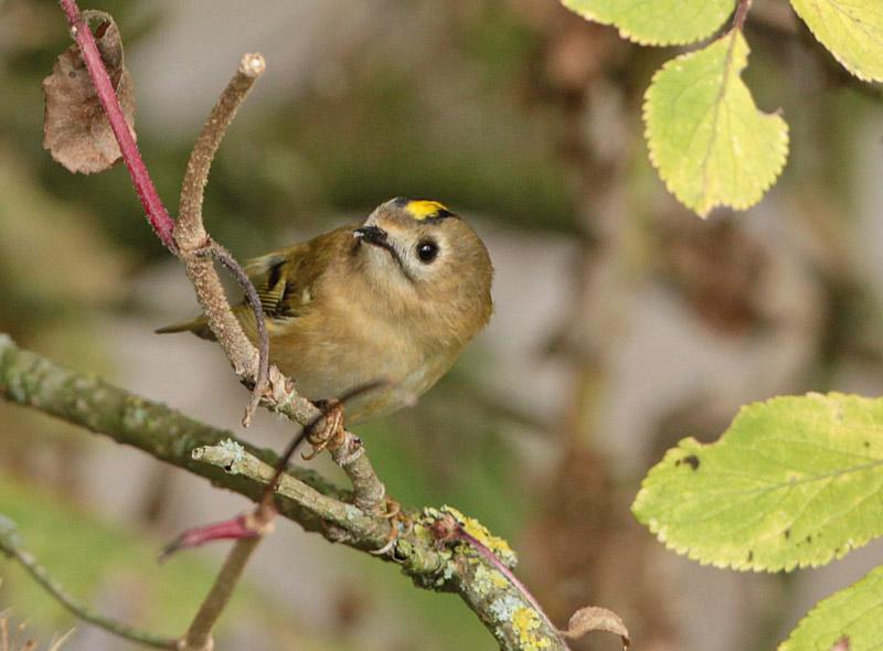 Der kleinste Vogel Europas - ein Wintergoldhähnchen im Wassergewinnungsgelände, 23.09.2012 Foto: Bernhard Glüer