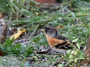 Bergfink heute Vormittag im Garten am 20.11.2013. Foto: E.Spillman-Preuß