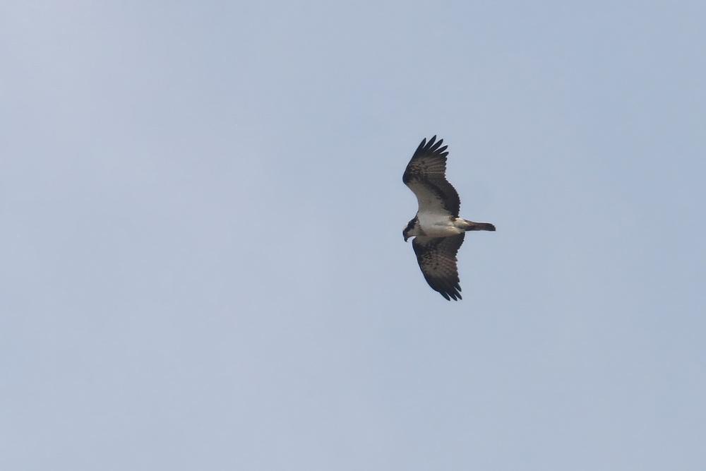 Fischadler über der Vernässungsfläche der Kiebitzwiese...am 30.03.13 Foto: Martin Wenner