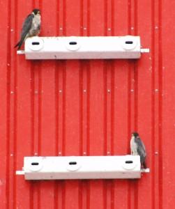 Wanderfalken auf Mauerseglerkasten, 27.01.13 Foto: Hartmut Peitsch