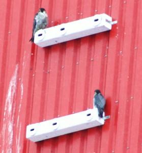 Wanderfalkenpaar auf Mauerseglerkasten am 27.01.13 Foto: Hartmut Peitsch