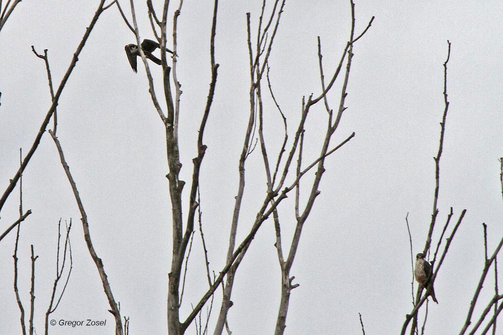 Wenigstens auf einem Foto konnte ich beide Baumfalken zusammen erwischen. Ein Vogel sitzt in dem toten Baum am Südufer der Ruhr, während der zweite Vogel sich immer wieder in die tieffliegenden Schwalben stürzt...am 26.06.13 Foto: Gregor Zosel